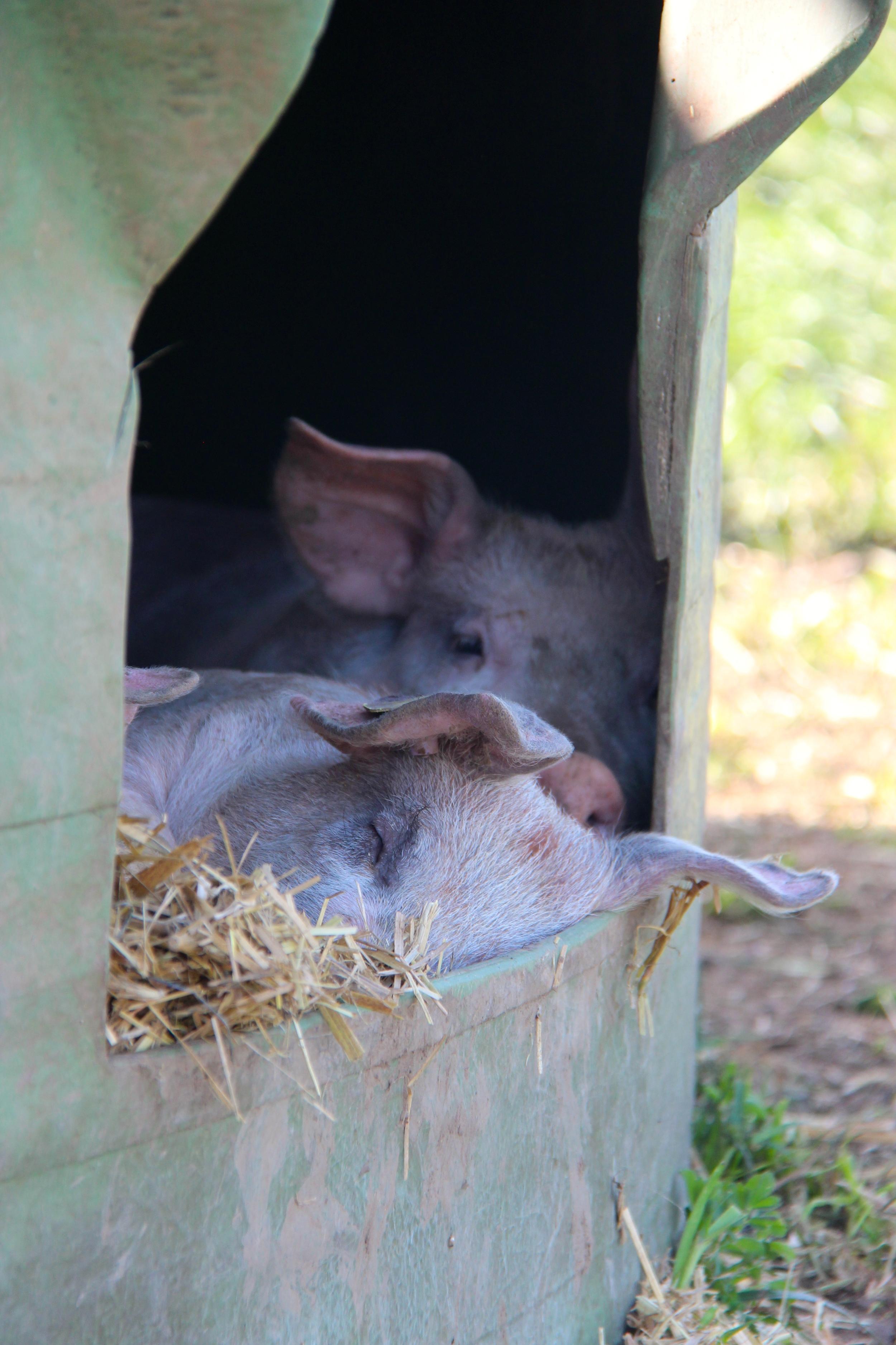 Weidschweine